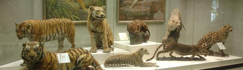 Stuffed big cats at the State Darwin Museum, Moscow