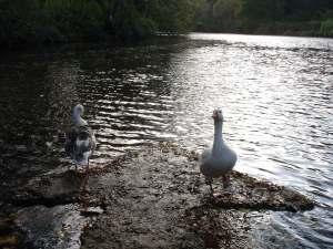 Geese at Winkworth Arboretum
