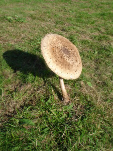 Giant mushroom at Winkworth Arboretum