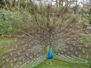 Peacock at Holland Park