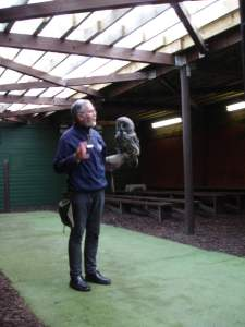 Grey grey  owl at the Scottish Owl Centre