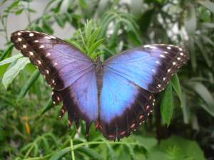 Another large blue butterfly at Sensational Butterflies NHM