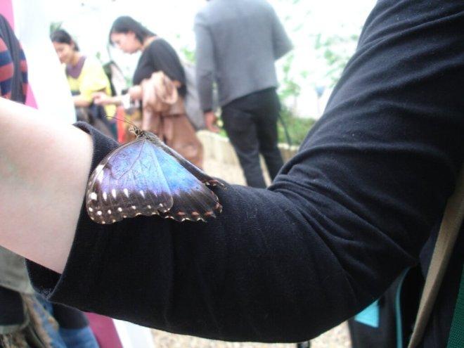 Large blue butterfly on an arm at Sensational Butterflies NHM