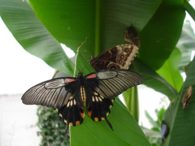 Stripy black butterfly with pink spots at Sensational Butterflies NHM