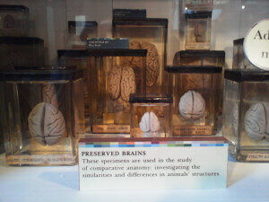 Brains at the Grant Museum of Zoology