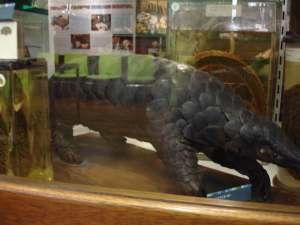 Pangolin at the Grant MMuseum f Zoology