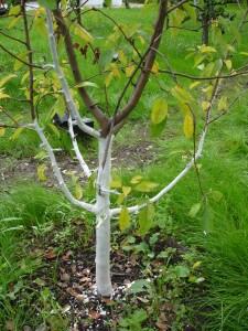 Apple trees at Gorodskaya Ferma VDNH