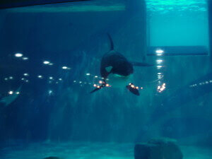 Killer Whale at the Moskvarium Moscow