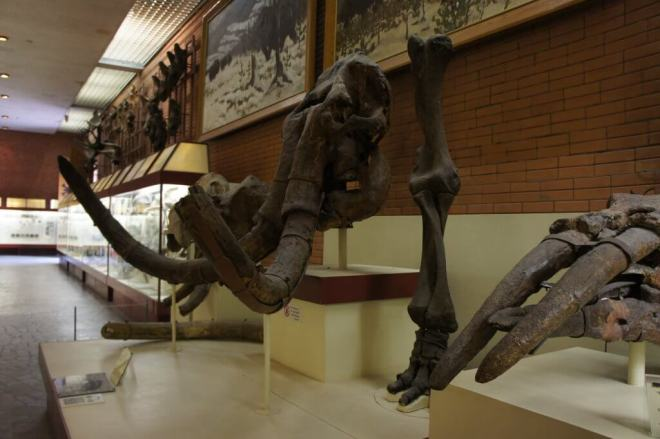 Mammoth Skull and Tusks Orlov Paleontology Museum Moscow