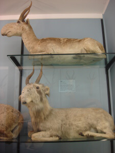 Antelope with a big nose at Tring Natural History Museum