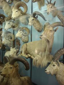 Rams at Tring Natural History Museum