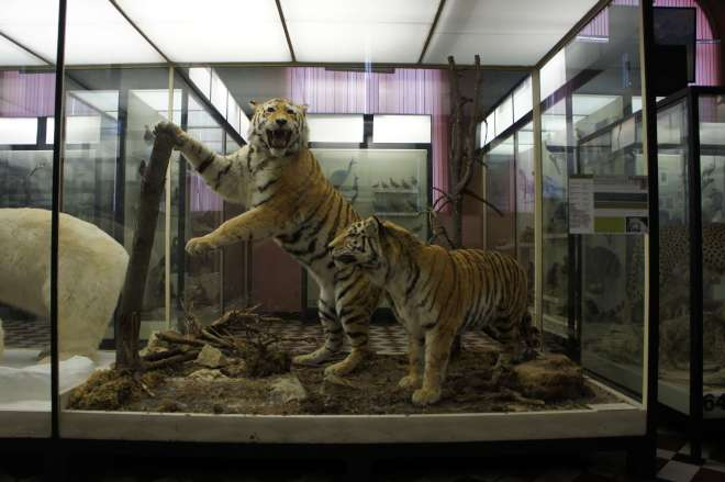 Tigers at the Moscow Zoological Museum