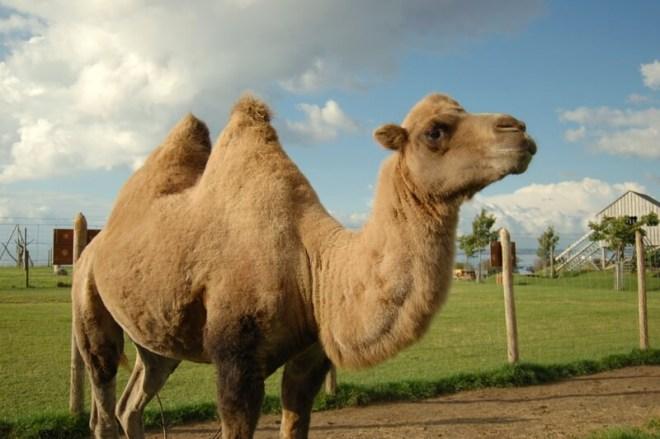 Heads of Ayr Farm Park Camel