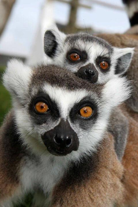 Heads of Ayr Farm Park lemur