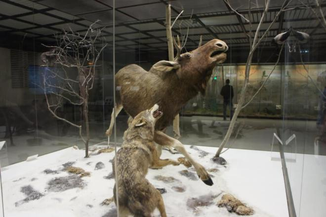 Wolves and Moose Darwin Museum Moscow