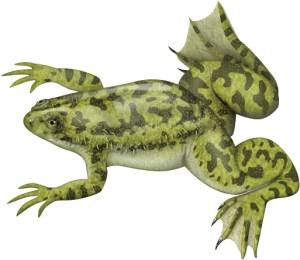 african clawedfrog image