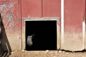 Peek-a-boo pig at Oxon Hill