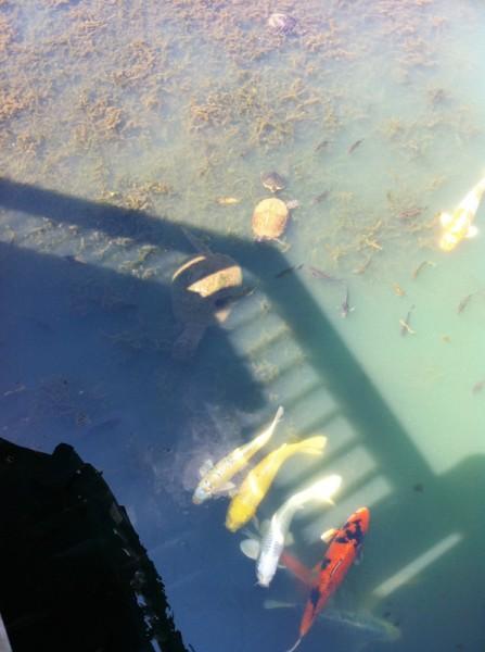 Turtles & koi in the gazebo's shadow