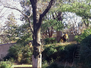 King of the jungle in the city zoo