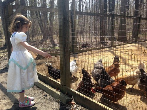 Feeding the chickens at Old Maryland Farm