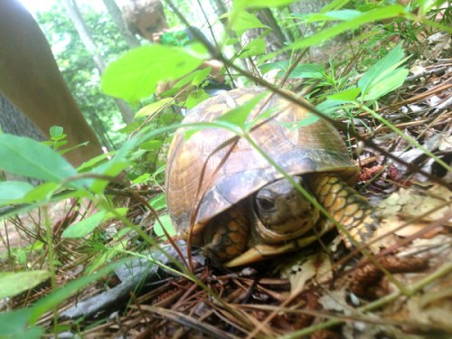 annmarie_turtle
