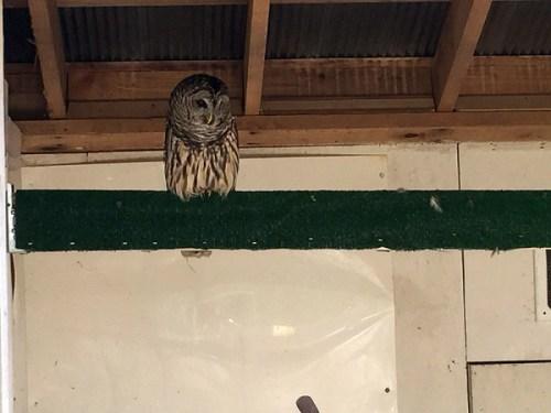 watkins_owl