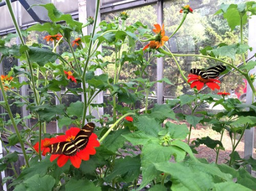 Some of the fancy wings at Brookside Garden's butterfly exhibit