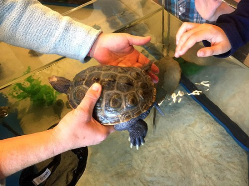 A diamondback terrapin encounter (Go, Terps!)