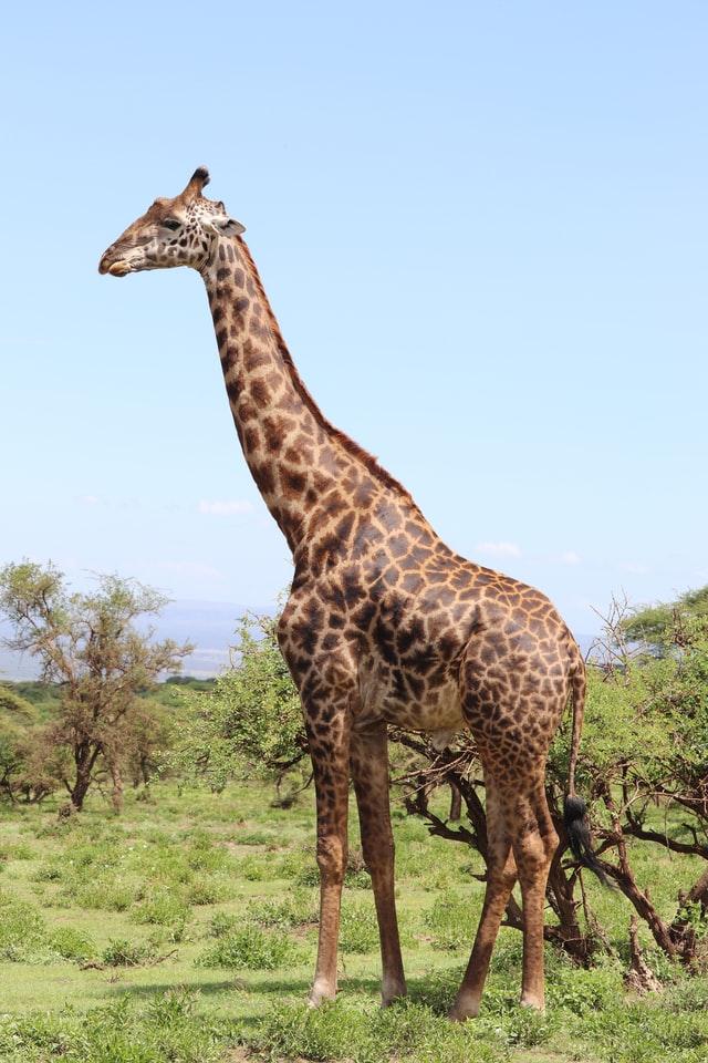 heaviest animals on earth