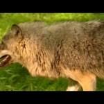 Живая энциклопедия – Волки