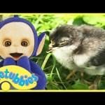 Teletubbies English Episodes – Chicks ★ Full Episode 228 | US