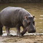 Animal World – Hippopotamus