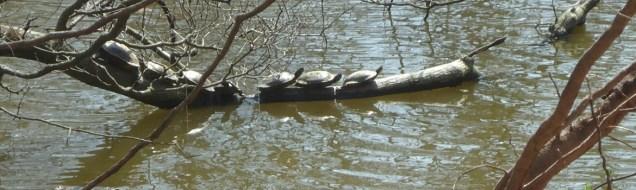 Echo Lake Park turtles awaiting takeoff