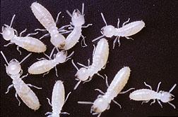 Image Titled Identify Termite Larvae Step 10