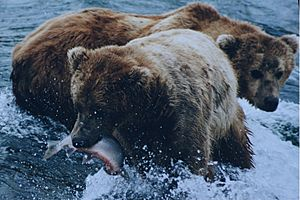 Brown bears salmon