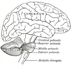 Cerebellum Facts for Kids