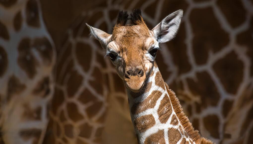 Giraffe  San Diego Zoo Kids