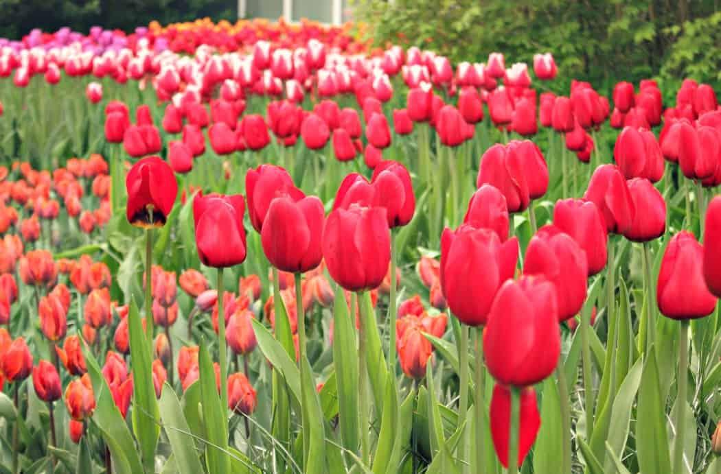 Ogród tulipanów