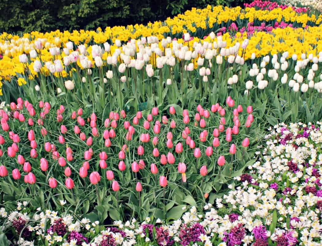 Holandia z dzieckiem - pola tulipanów
