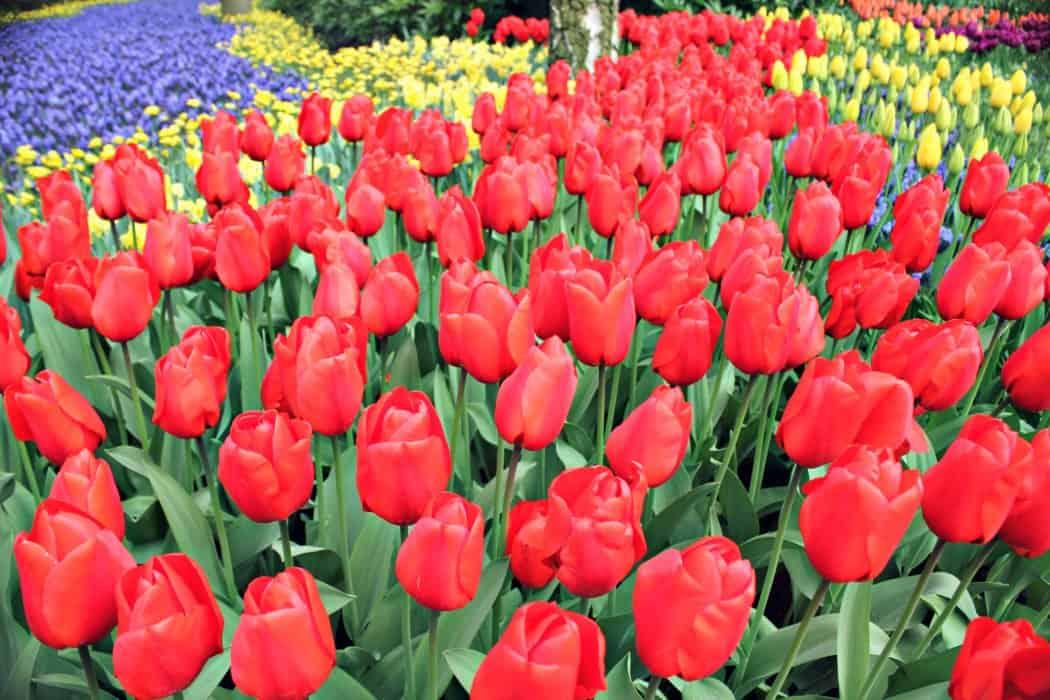 amsterdamskie tulipany