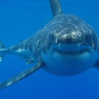 Great White Shark Facts for Kids - Interesting Facts and Information