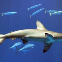 Hammerhead Shark Facts for Kids - Great Hammerhead Shark Facts