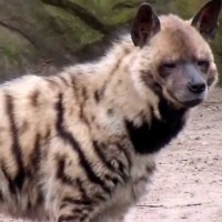 Striped Hyena Facts for Kids