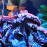 Giant Pacific Octopus Facts for Kids - Interesting Facts about Giant Pacific Octopus