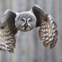 Great Gray Owl Facts for Kids