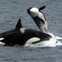 Killer Whale Facts for Kids - Interesting Orca Facts for Kids