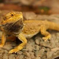 Bearded Dragon Facts for Kids