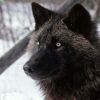 Black Wolf Facts for Kids - Black Wolf Facts and Information