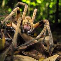 Brazilian Wandering Spider Facts for Kids