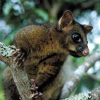 Brushtail Possum Facts for Kids